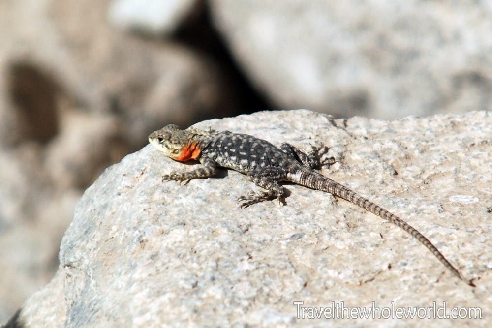 Afghanistan Lizard
