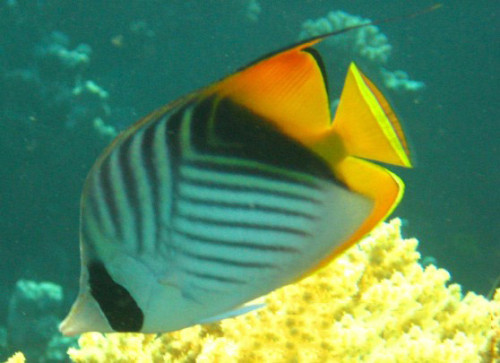 Egypt Red Sea Angel Fish