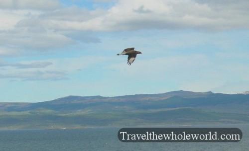 Argentina Ushuaia Hawk