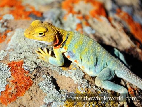 Colorado-Desert-Lizard
