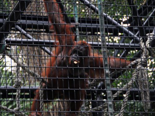 Hong Kong Zoo Orangatan
