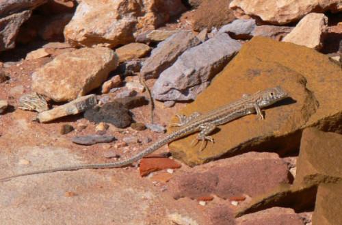 Jordan Petra Lizard