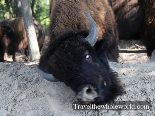 Nebraska-Safari-Bison-Scratching
