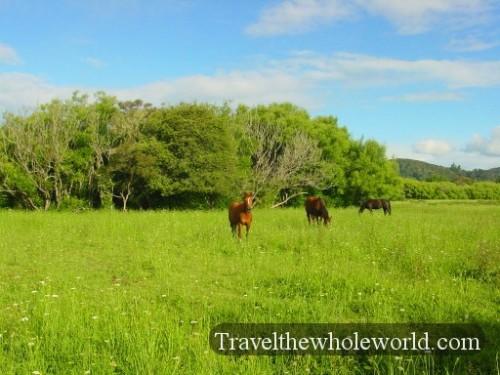 New-Zealand-Horses