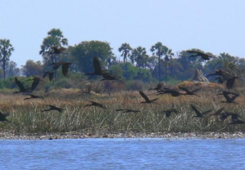 Botswana Okavango Storks