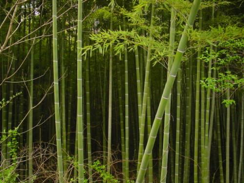 Japan Bambo Grove