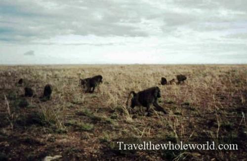 Tanzania Baboons