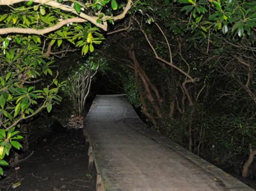 Indonesia Bali Mangrove Forest Boardwalk