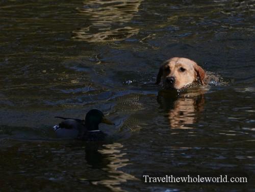English Park Duck Hunting