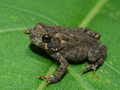 Ohio-Cuyahoga -National-Park-Toad