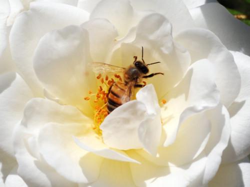 Iran Shiraz Gardens Bee