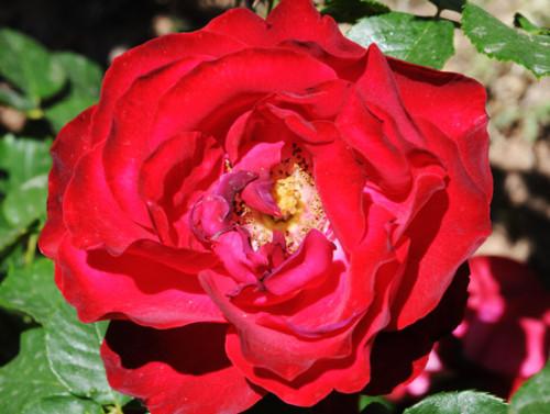 Iran Shiraz Gardens Rose