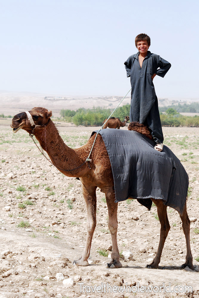 Afghanistan Camel Standing