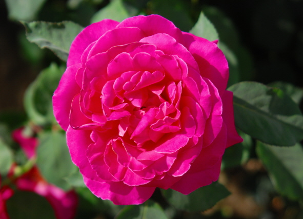 Afghanistan Kabul Babur Gardens Rose