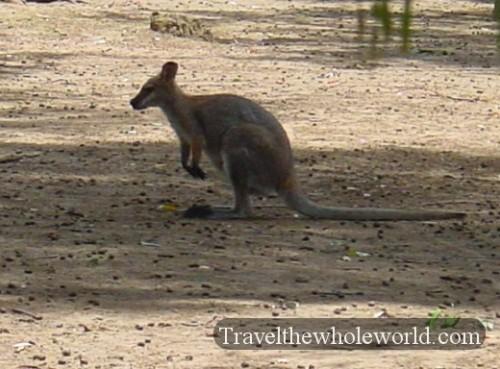 Australia-Kangaroo