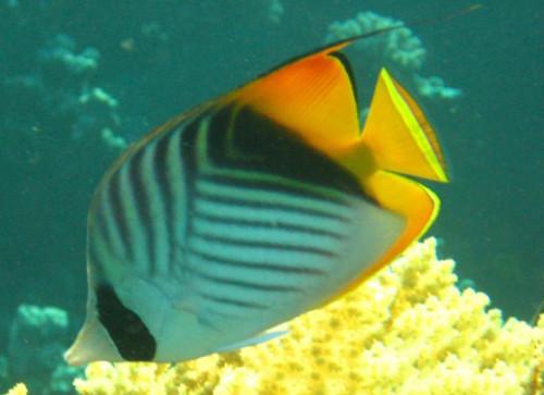 Egypt Red Sea Angel Fish