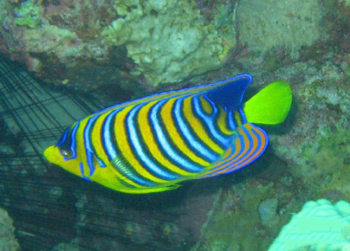 Egypt Red Sea Emperor Angel