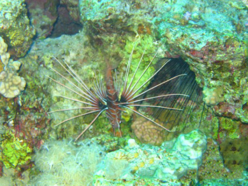 Egypt Red Sea Lion Fish