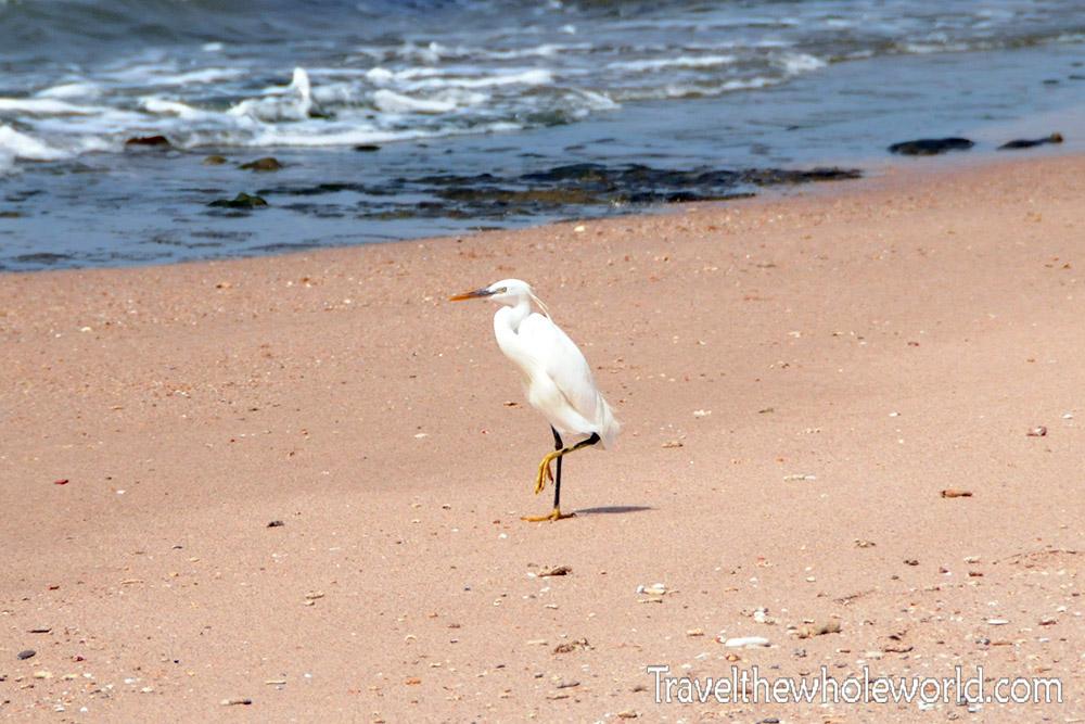 Somalia White Heron