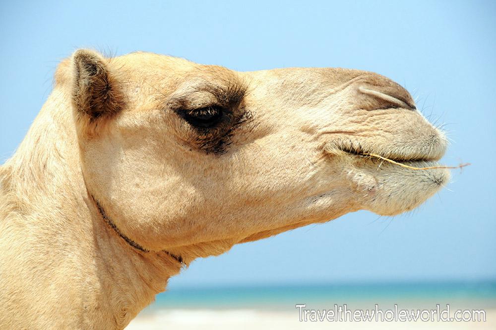 Somalia Camel