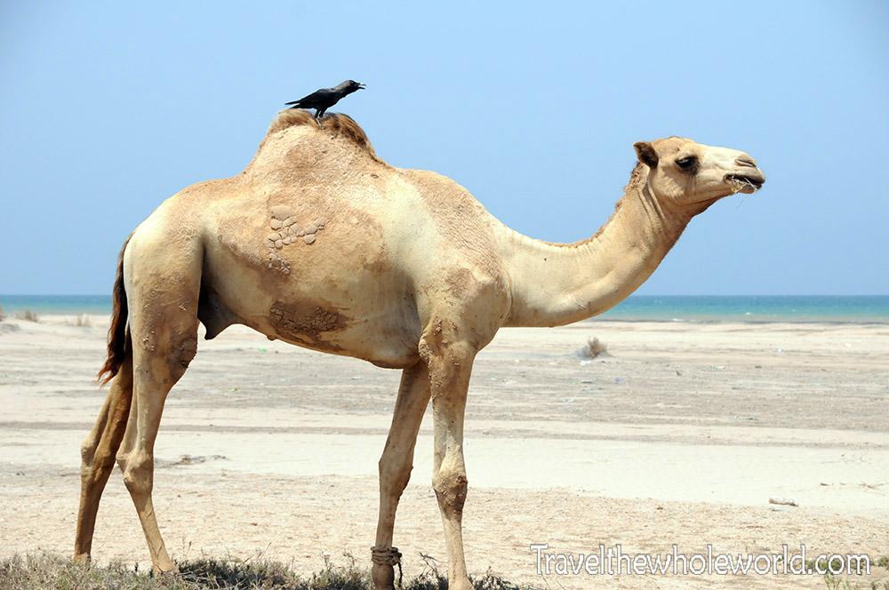 Africa Beach Camel