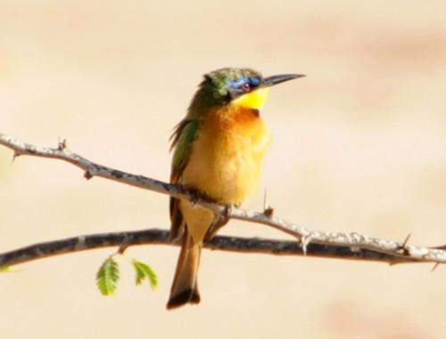 Somalia Bird BeeEater