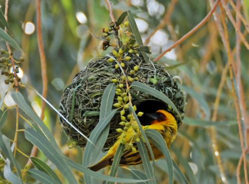 Somalia Bird Gold