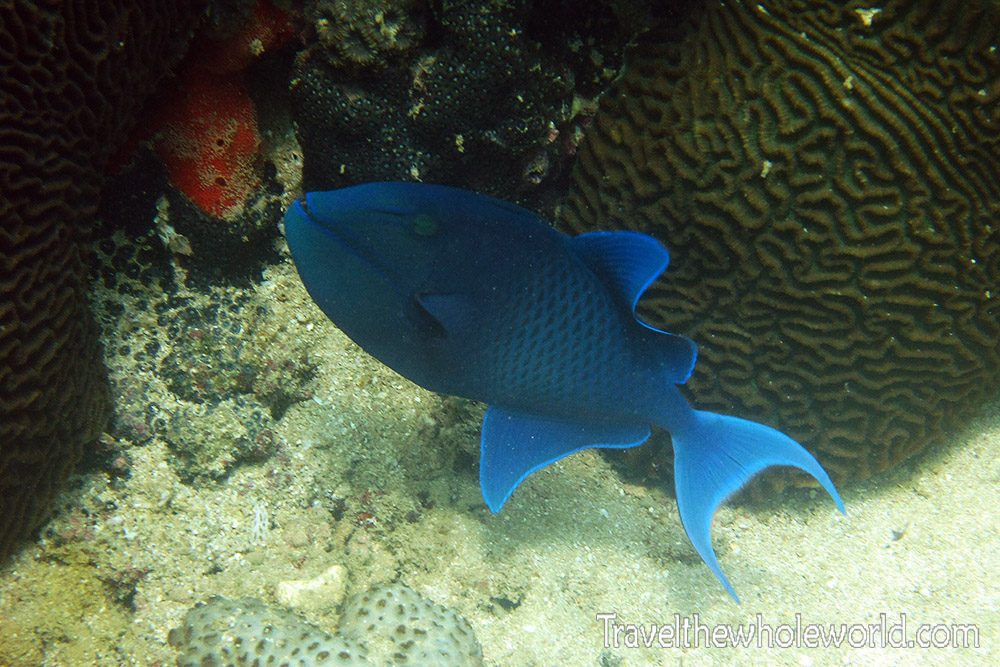 Somalia Diving Blue Fish
