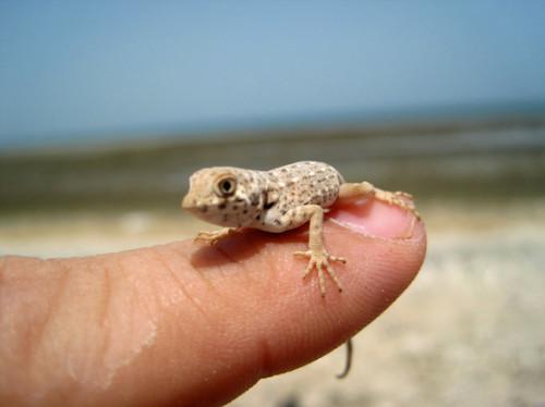 Somalia Lizard Small