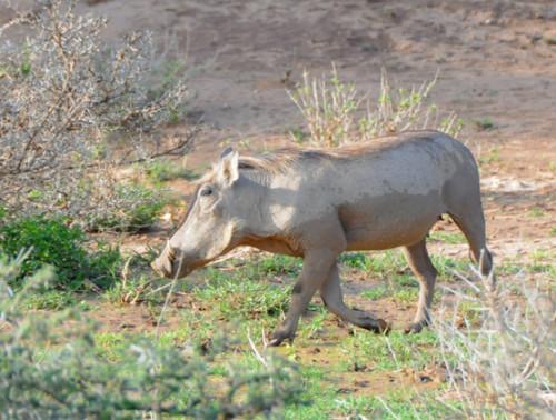 Somalia Warthog