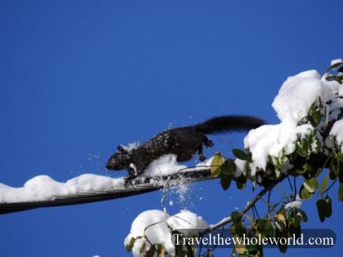 Virginia-Black-Squirrel-Power-Lines