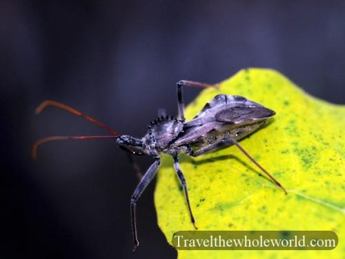 Virginia-Assassin Bug