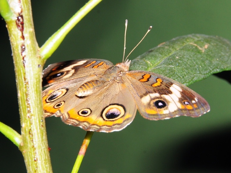 Virginia Natural Bridge Butterfly