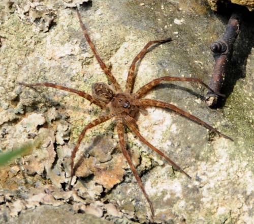Virginia-Natural-Bridge-Spider