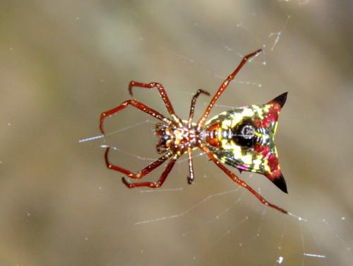 Virginia-Natural-Bridge-Spider-Arrow-Head