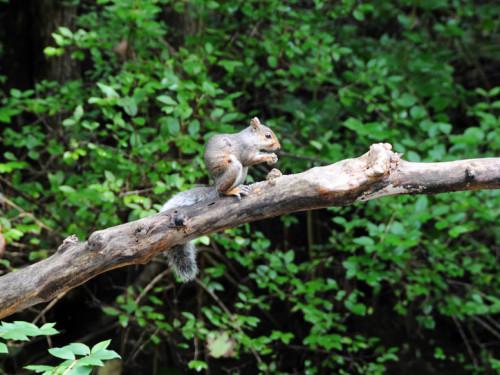 Virginia Natural Bridge Squirrel