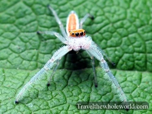 Virginia-Spider-Two-Striped-Telamonia