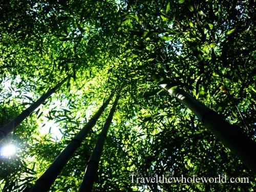 Virginia-Springfield-Bamboo-Canopy
