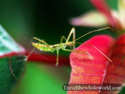 Virginia_Bug_Green