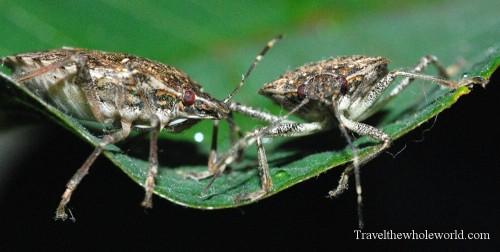 Virginia_Bug_Stink