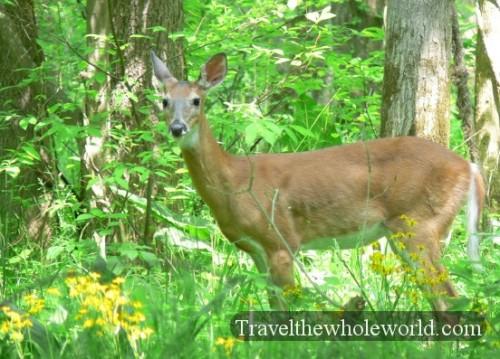 Virginia_Deer