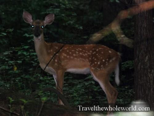 Virginia_Deer_Young