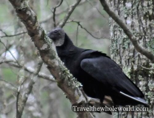 Arkansas Lake Ouachita Vulture