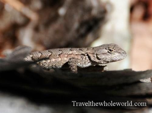 Arkansas Ozarks Lizard