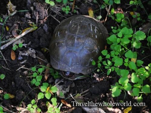 Arkansas Ozarks Turtle