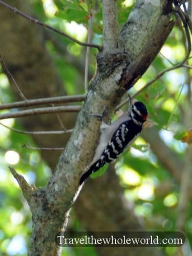 Arkansas Ozarks Woodpecker