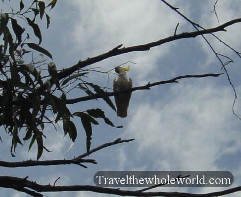 Australia-Blue-Moutains-White-Cockatoo