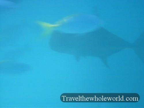 Australia-GBR-Gigantic-Fish