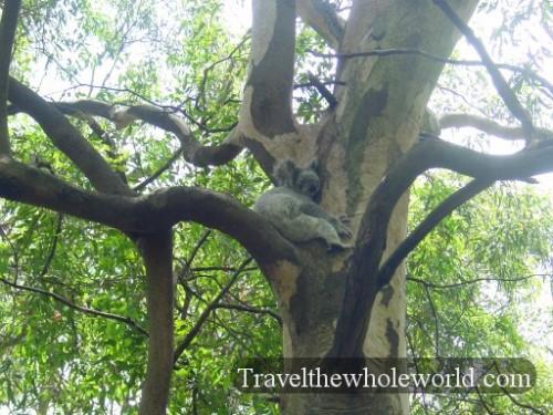 Australia-Koala-Sleeping2
