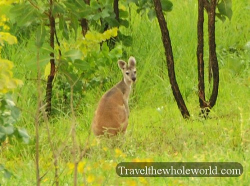 Australia-North-Territory-Wallabee